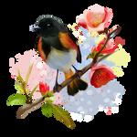 American Redstart bird
