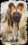 Wild African dog