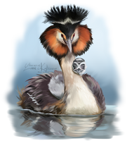 The great crested grebe by Kajenna