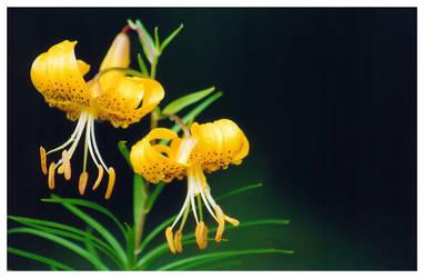 Yellow Tiger Lilies by heavyatom