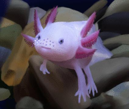 Axilotl by Beaken