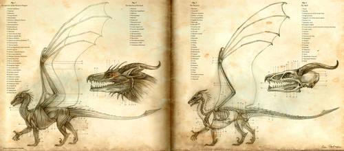 Anatomy of the Western Dragon by KatePfeilschiefter