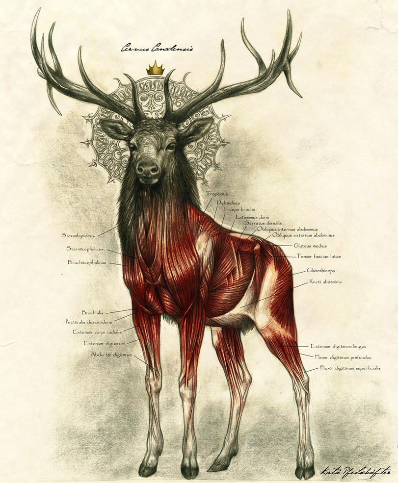 Anatomy of the Deer King by KatePfeilschiefter