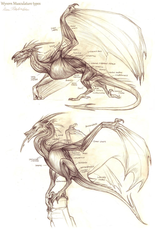 Wyvern Musculature by KatePfeilschiefter