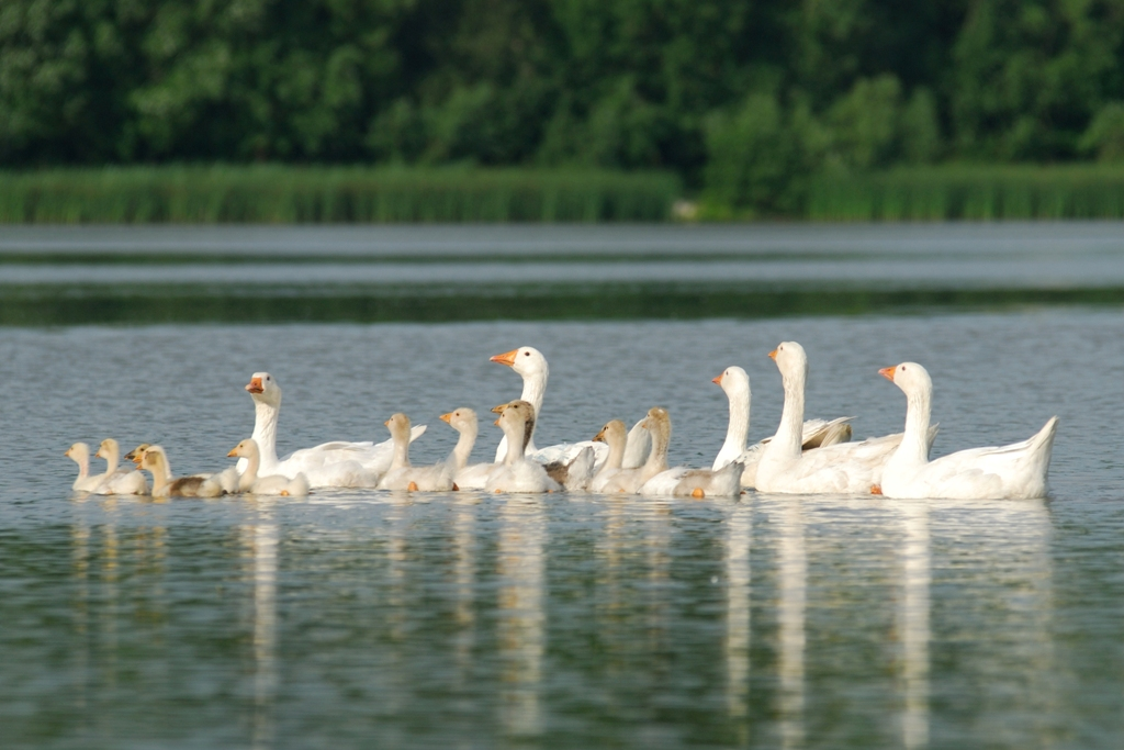 Geese by Roksolana