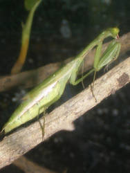 Mantis religiosa Prayingmantis