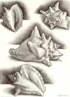 Conch sketch by strickart