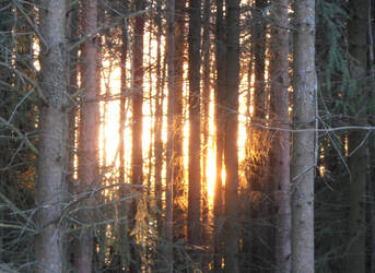 Sunset behind spruces by Zabbe1