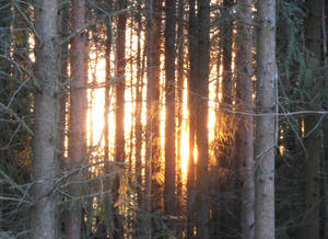 Sunset behind spruces