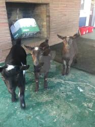 Three Goatlings