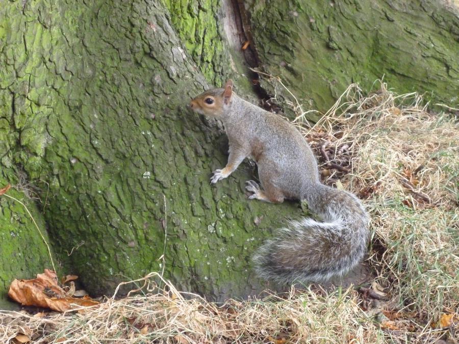 Squirrel by ikarichan