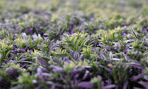 Green and Purple Bush