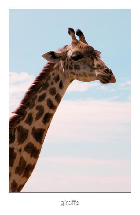 """Obrázek """"http://fc01.deviantart.com/fs11/i/2006/234/5/4/giraffe_by_pinkland.jpg"""" nelze zobrazit, protože obsahuje chyby."""