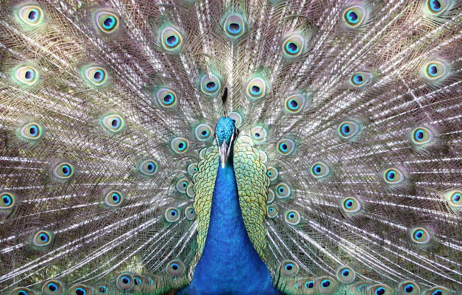 Peacock by kimberlyg