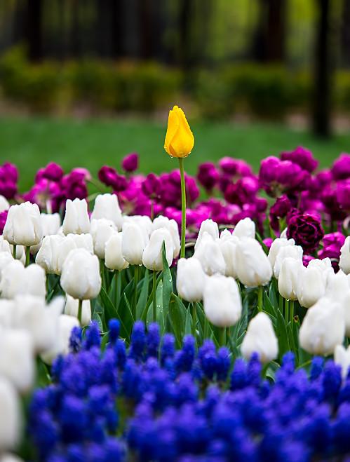 Tulips by khrmnens