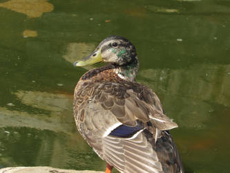 (Zoo) Duck by kaytbear