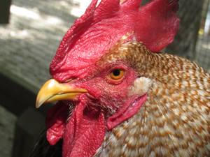 Belidifelder rooster 1