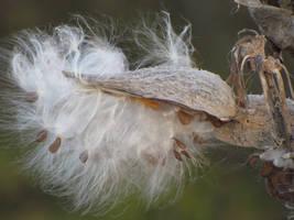 Milkweed Seed by TGeissler