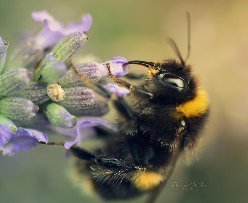 Beeutiful Lavender by dandelion-field