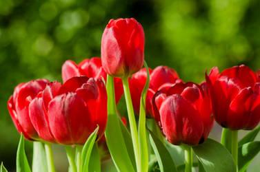 April Tulips by dandelion-field