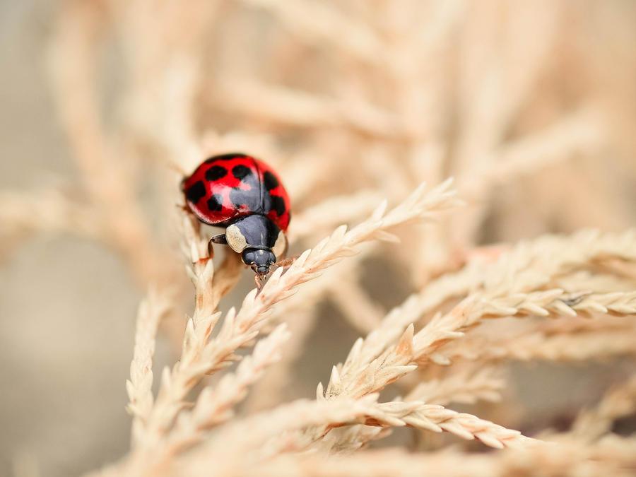 The Wandering Ladybug by dandelion-field