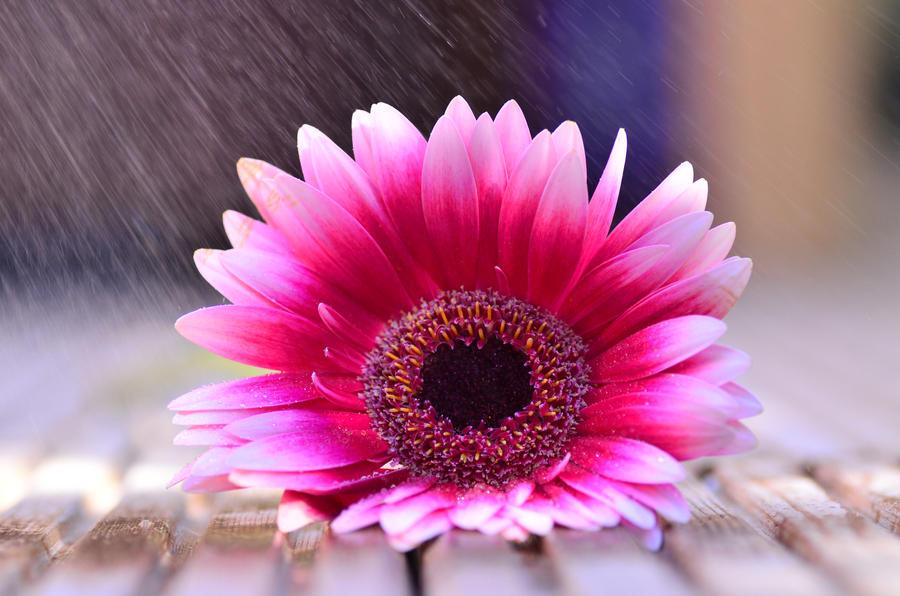 pINK by dandelion-field