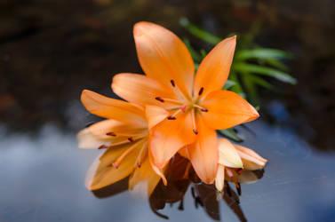 Lily by dandelion-field
