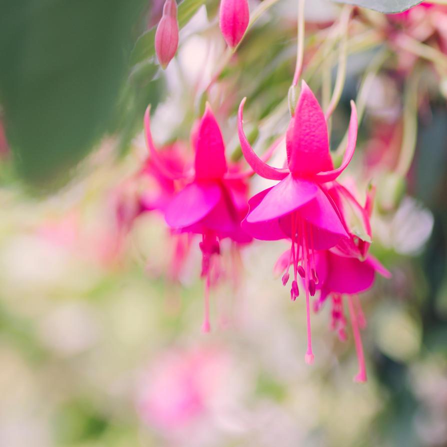 Fuchsia by dandelion-field