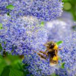 Bee on Ceanothus Flowers by dandelion-field