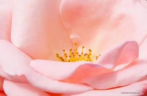Rose by varundubey
