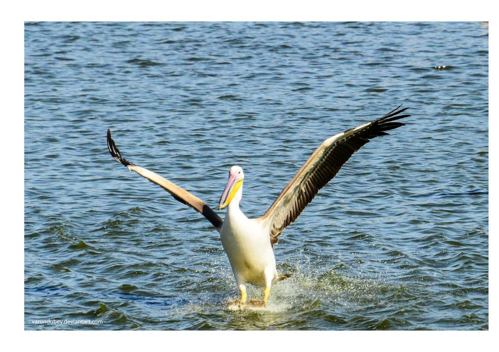 Landing Pelican by varundubey
