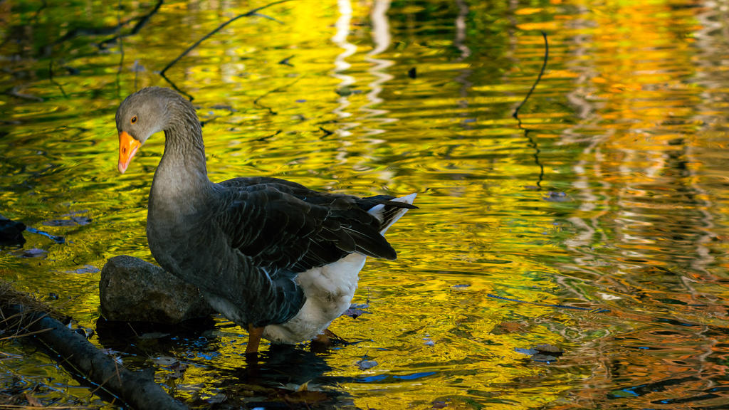 Graylag goose highlight by FrenchieSmalls