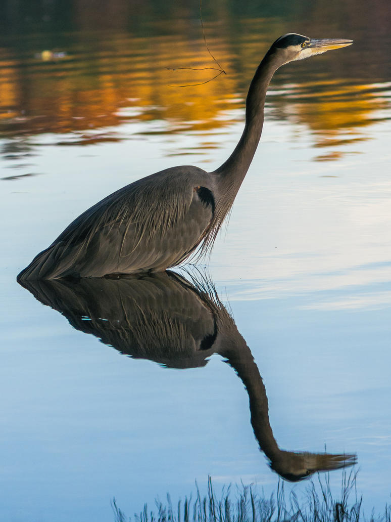 Blue heron reflection by FrenchieSmalls