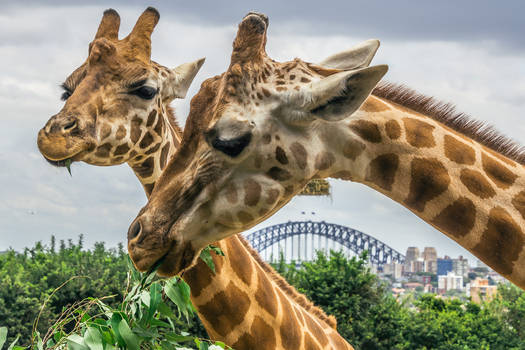 Giraffes over Harbour Bridge