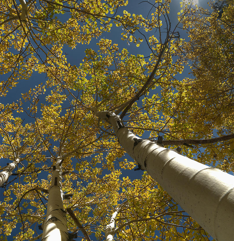 Mid-Summer Aspens by sciph