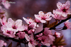 Cherry Bloom 1 by Linire