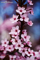 Cherry Bloom 2 by Linire