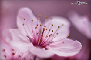 Cherry Bloom 3 by Linire