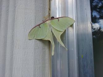 Lunar Moth by TheOrichalcumSpider