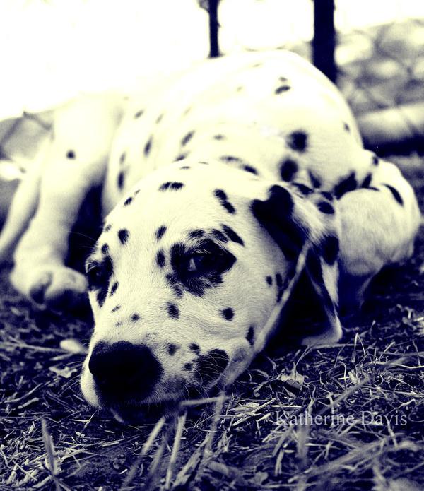 Roger Dalmatian by KatherineDavis