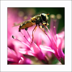 Syrphidae by aural