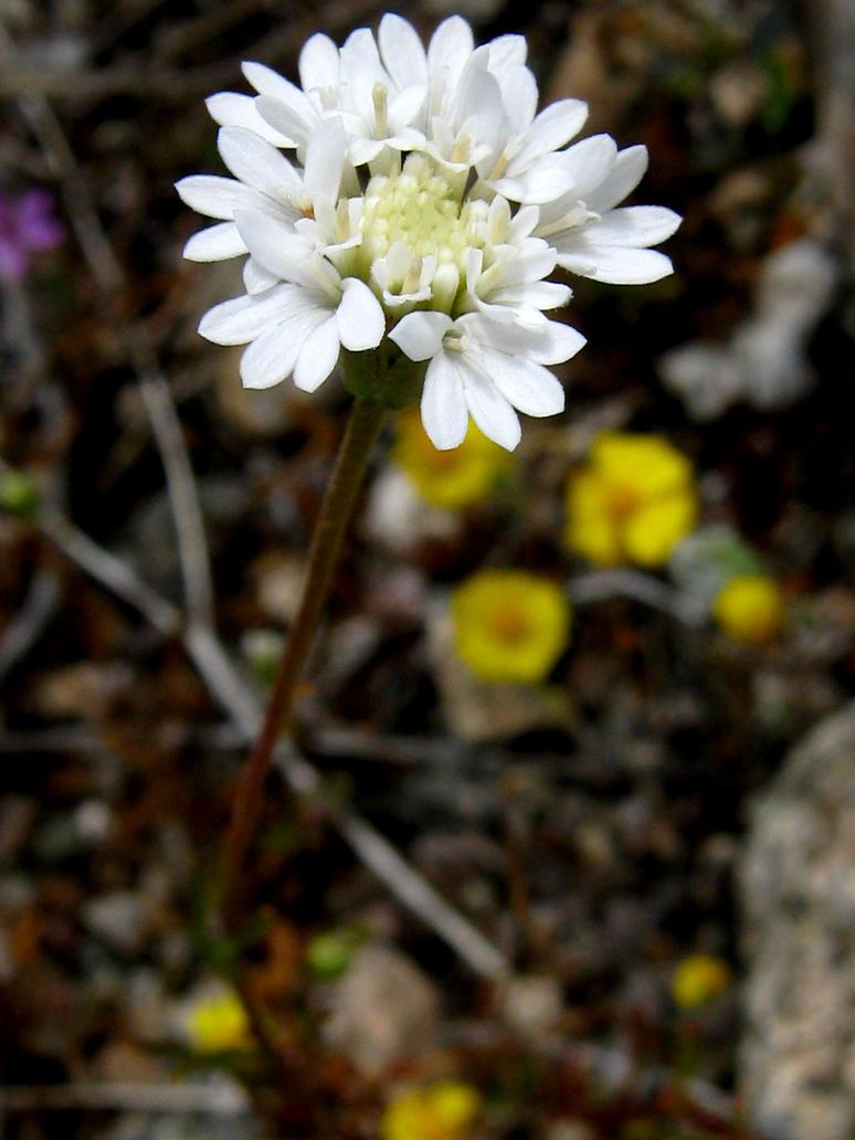 White And Yellow Desert Flowers 2 By Micki Vroman On Deviantart