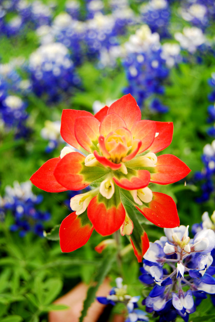 Indian paint brush by Ardamass