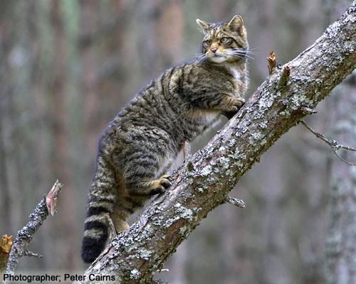 Scottish-Wildcat-scottishwildcats-co-uk by moravid