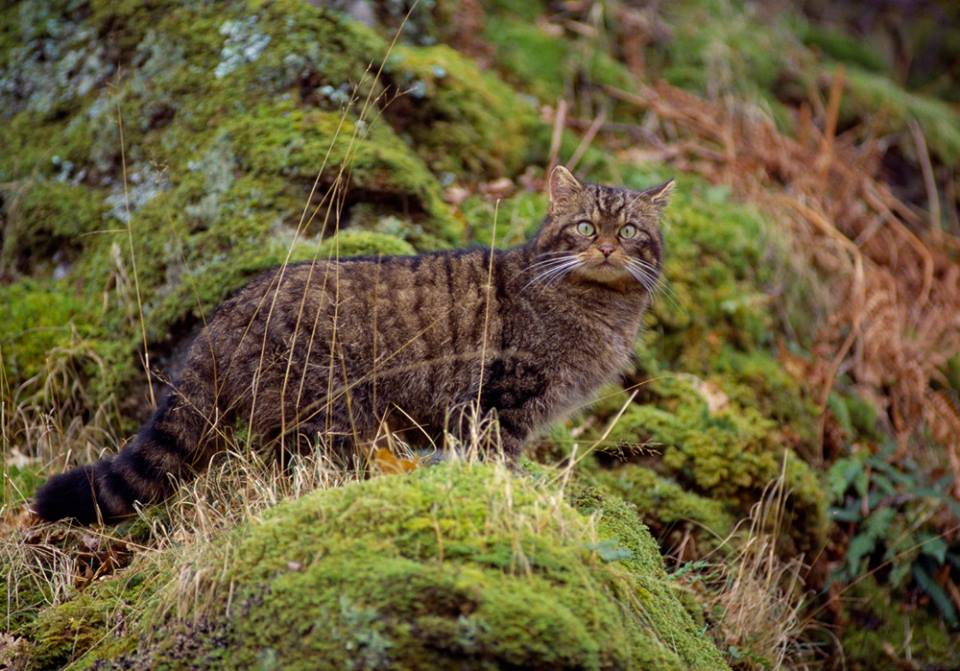 Photo from Scottish Wildcat Haven Facebook page by moravid