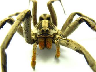 sr. spider by sturdy