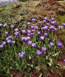 Lilac Tulips by Rowena-Silver