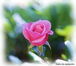 Flores do Junqueiro III
