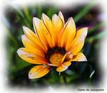 Flores do Junqueiro VII