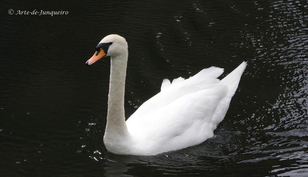 Swan Lake by Arte-de-Junqueiro